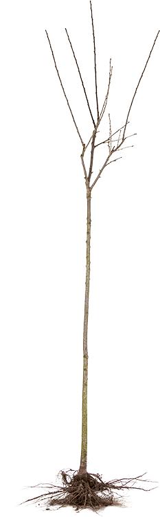 Fruitboom hoogstam blote wortel