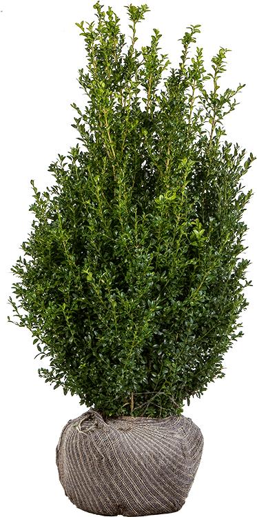 Buxus sempervirens struik kluit 125/150 cm extra breed