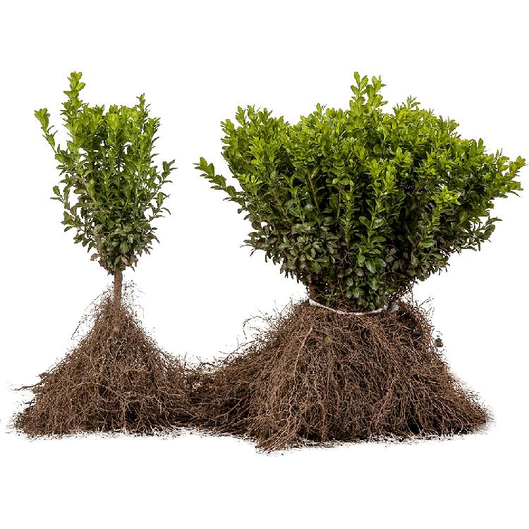 Buxus sempervirens blote wortel 20/30 cm