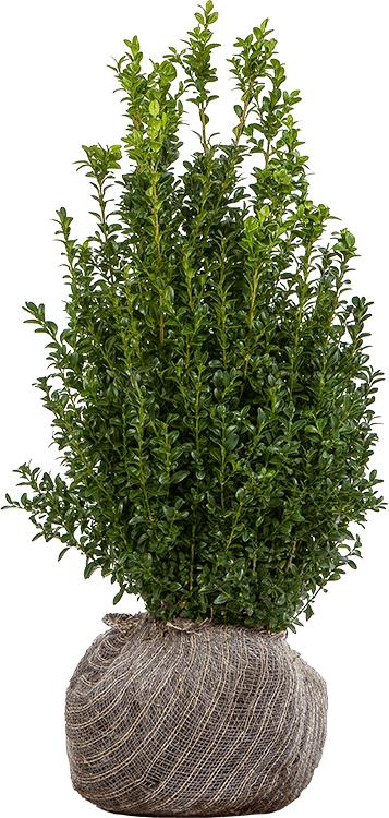 Buxus sempervirens struik kluit 40/60 cm