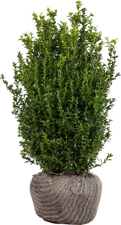 Buxus sempervirens struik kluit 60/80 cm