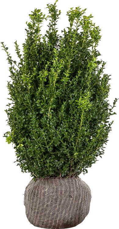 Buxus sempervirens struik kluit 80/100 cm