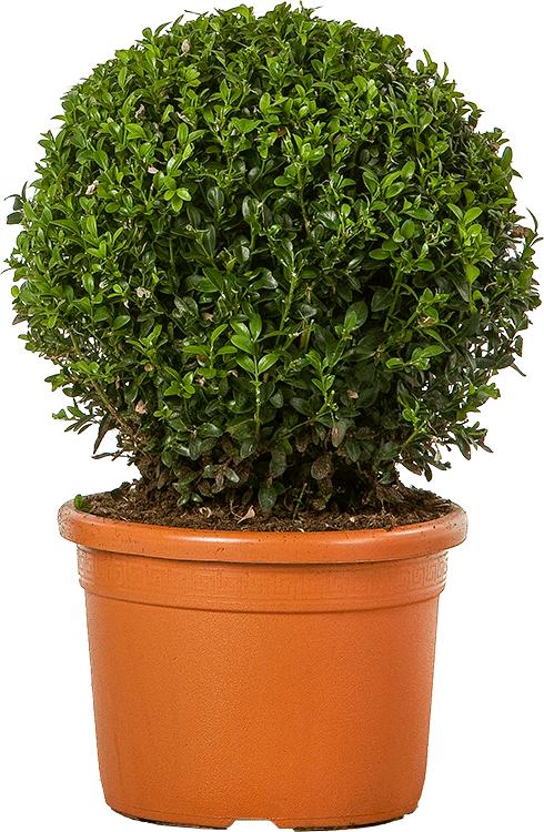Buxus sempervirens bol 25 cm