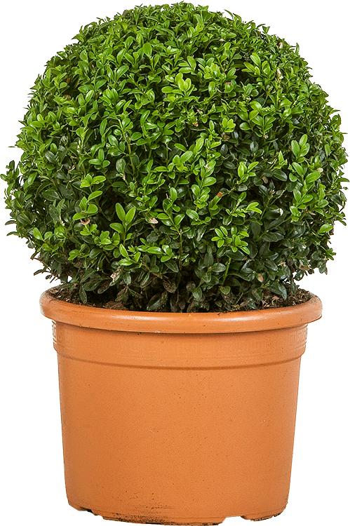 Buxus sempervirens bol 30 cm