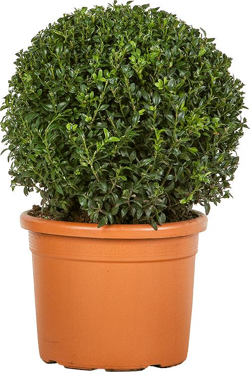 Buxus sempervirens bol 35 cm
