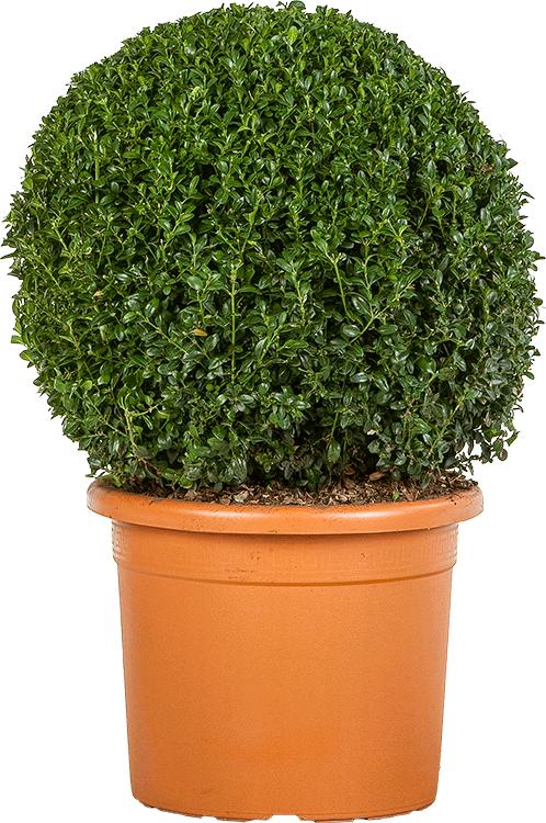 Buxus sempervirens bol 45 cm