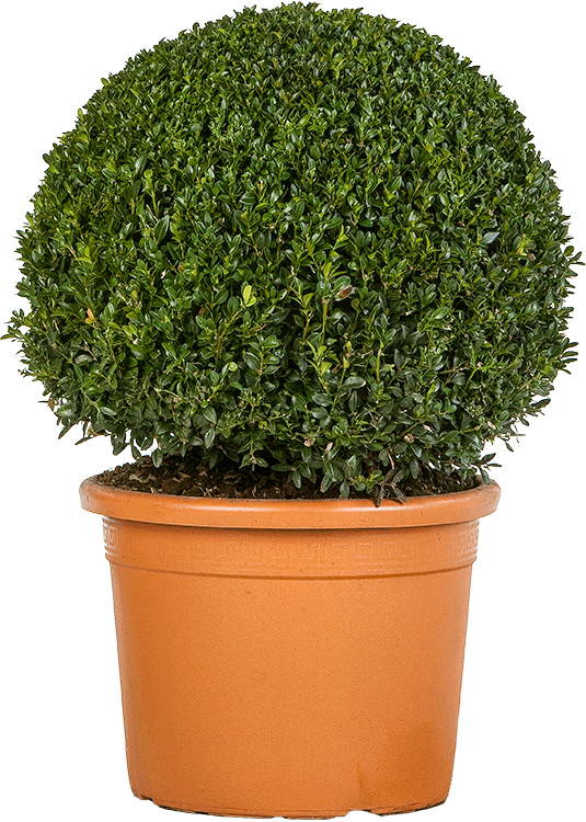 Buxus sempervirens bol 55 cm