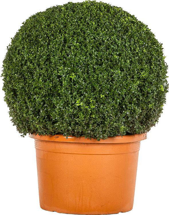 Buxus sempervirens bol 75 cm
