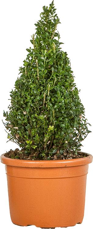 Buxus sempervirens kegel 40 cm