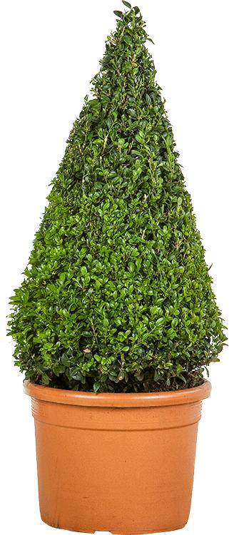 Buxus sempervirens kegel 60 cm