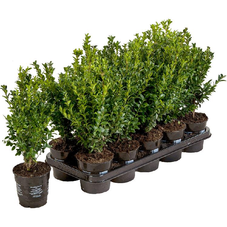 Buxus sempervirens pot 1 liter 20/25 cm