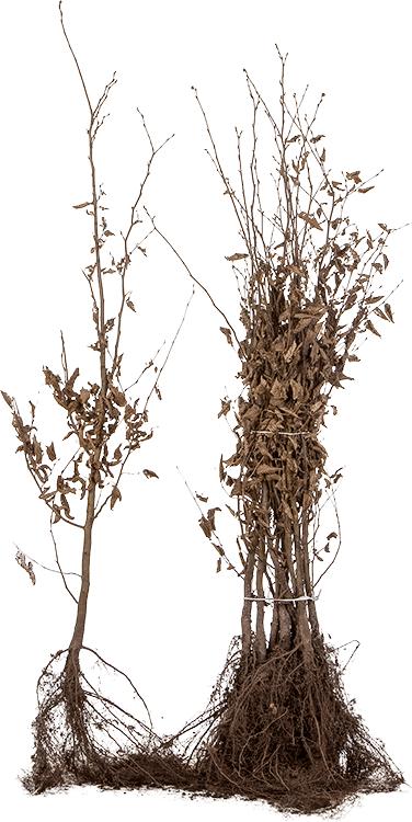 Carpinus betulus blote wortel 100/125 cm