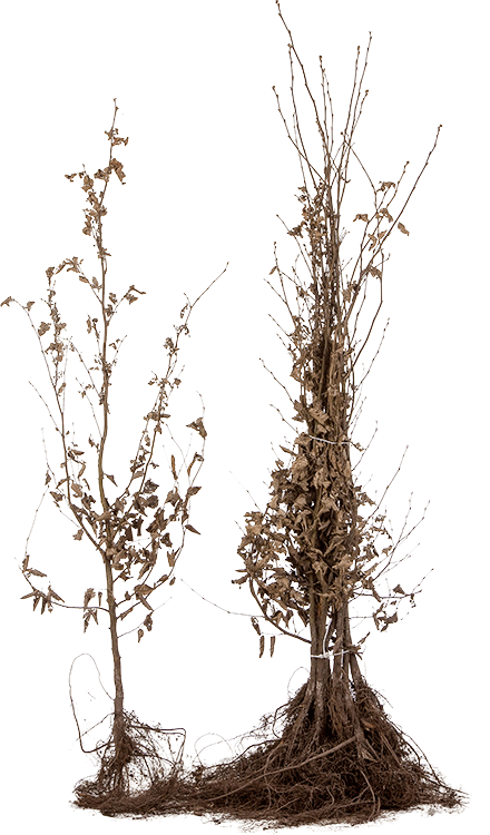 Carpinus betulus blote wortel 125/150 cm