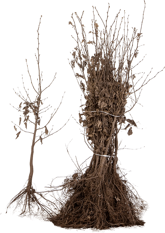 Carpinus betulus blote wortel 60/80 cm