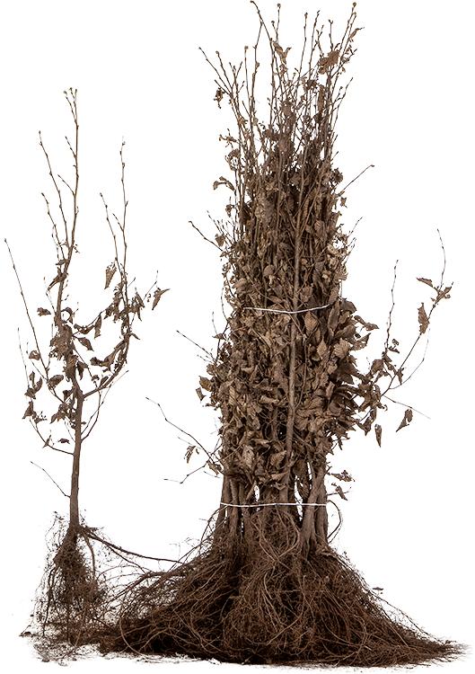 Carpinus betulus blote wortel 80/100 cm