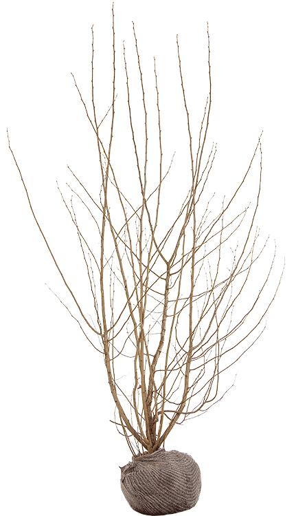 Corylus avellana 2 meter