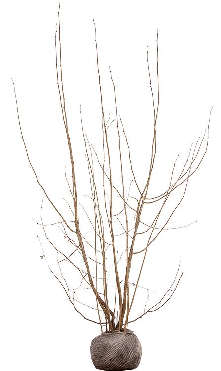 Corylus avellana 'Rode Zeller' 2 meter