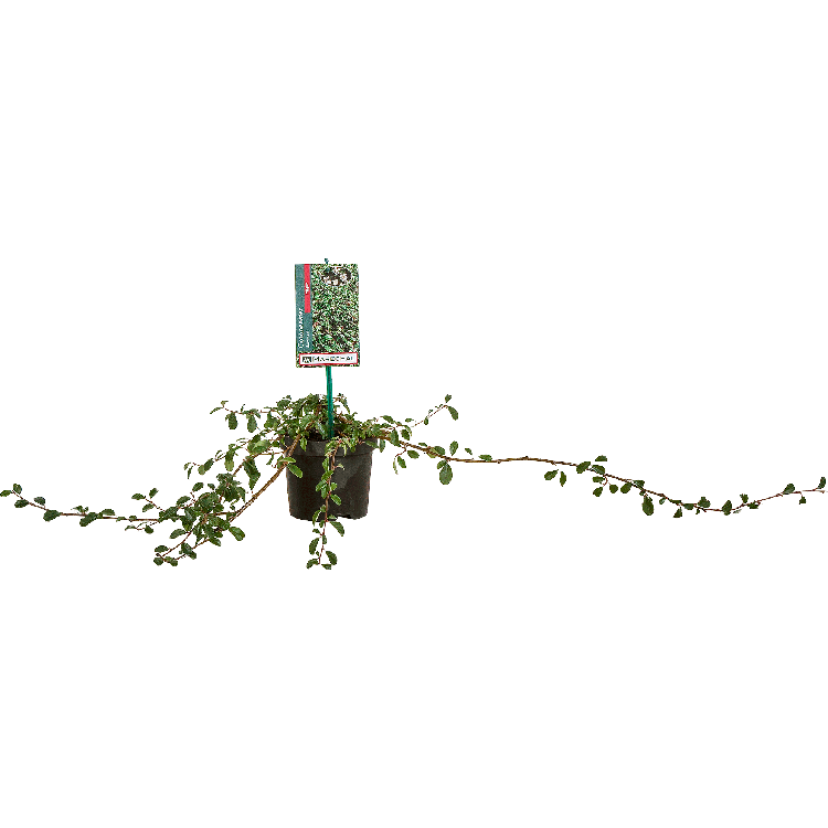 Cotoneaster dammeri 'Major' pot 2 liter