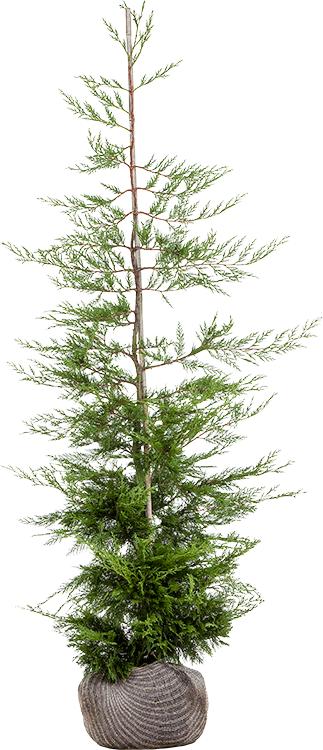 Cupressocyparis leylandii kluit 150/175 cm