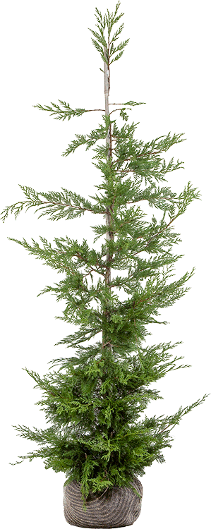 Cupressocyparis leylandii kluit 175/200 cm