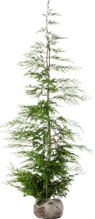 Cupressocyparis leylandii kluit 200/250 cm