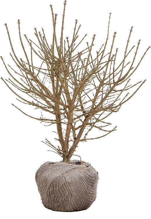 Euonymus alatus struik 100/125 cm
