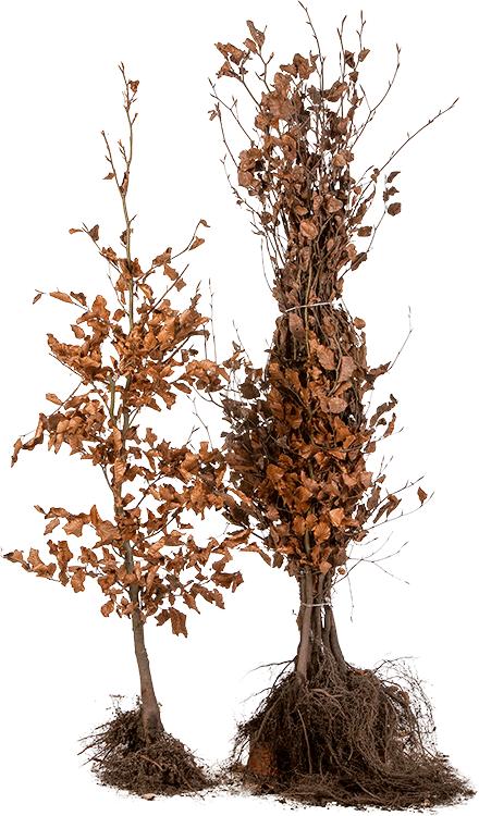 Fagus sylvatica blote wortel 100/125 cm
