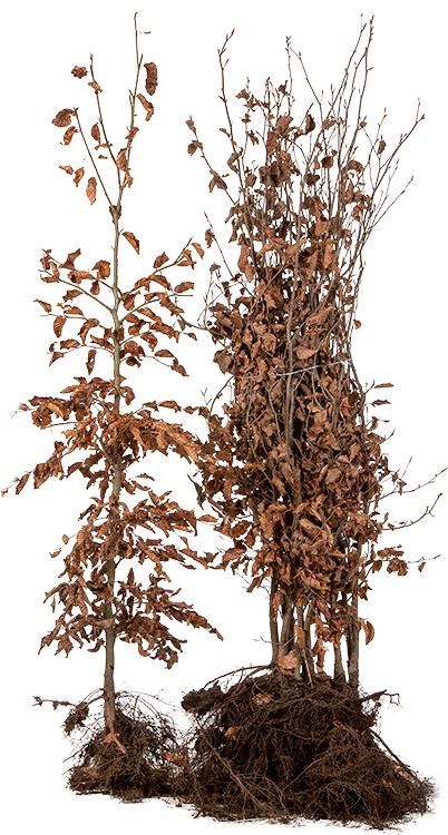 Fagus sylvatica blote wortel 125/150 cm