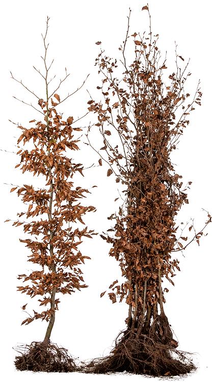 Fagus sylvatica blote wortel 175/200 cm