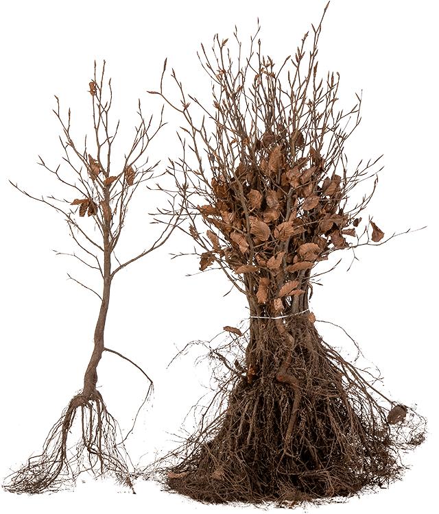 Fagus sylvatica blote wortel 40/60 cm
