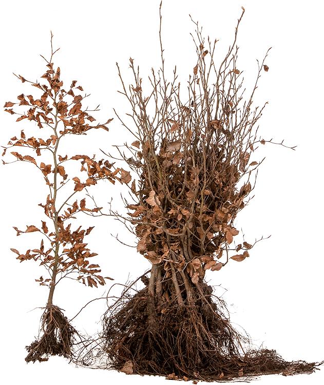 Fagus sylvatica blote wortel 60/80 cm
