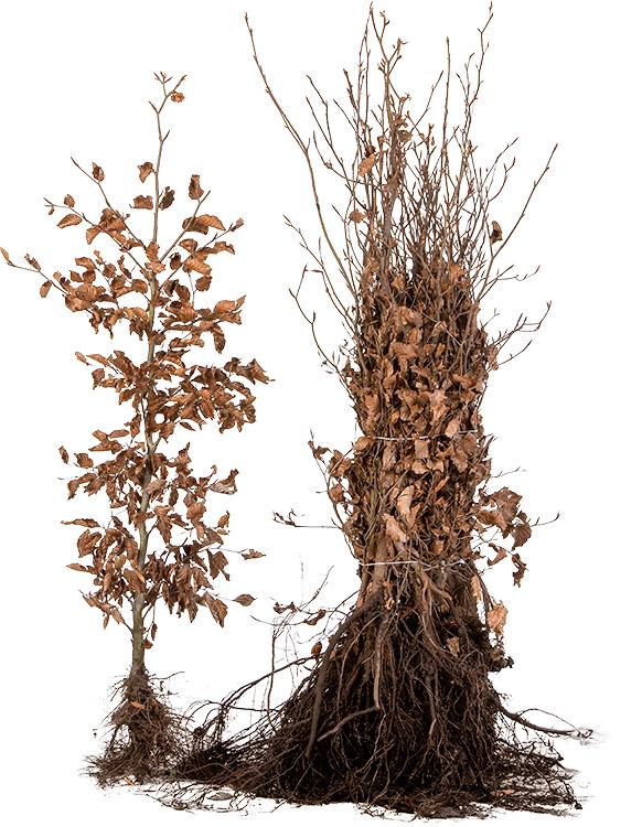 Fagus sylvatica blote wortel 80/100 cm