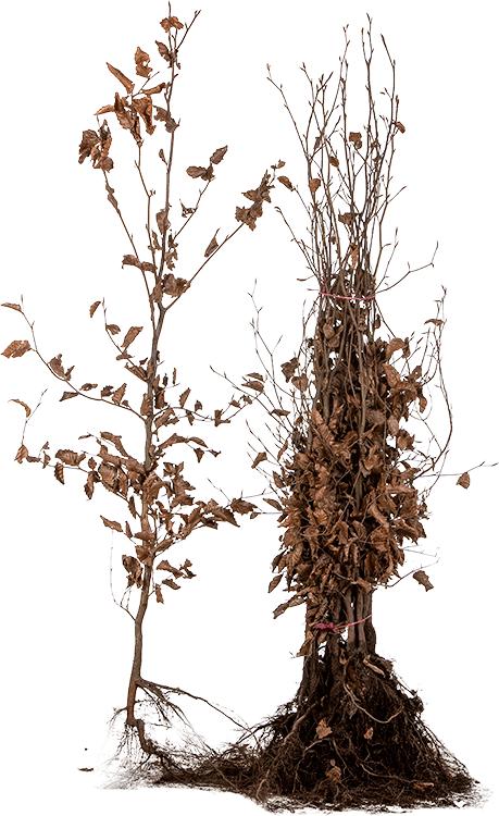 Fagus sylvatica 'Purpurea' blote wortel 100/125 cm