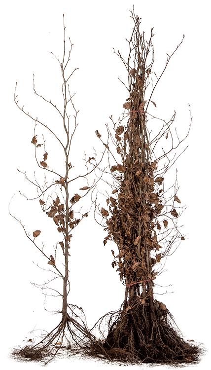 Fagus sylvatica 'Purpurea' blote wortel 125/150 cm