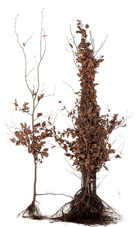 Fagus sylvatica 'Purpurea' blote wortel 150/175 cm