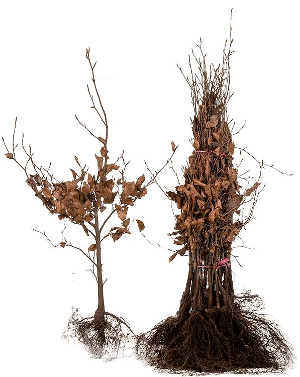 Fagus sylvatica 'Purpurea' blote wortel 40/60 cm