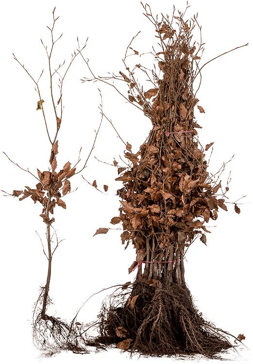 Fagus sylvatica 'Purpurea' blote wortel 60/80 cm