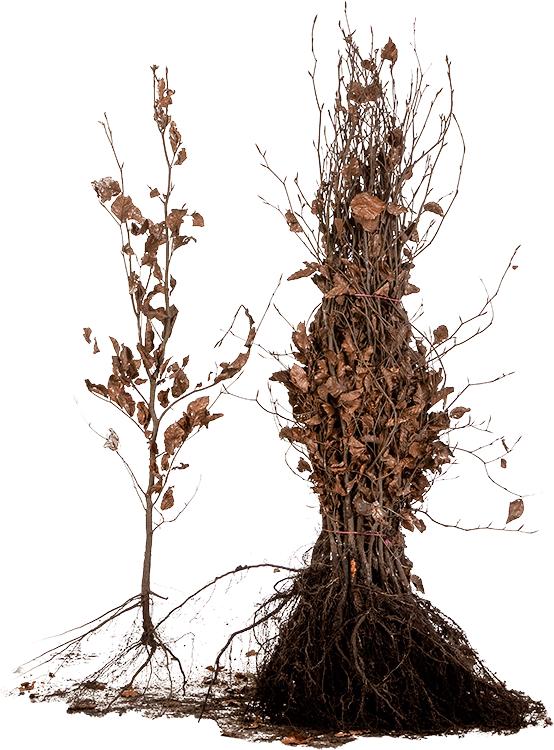 Fagus sylvatica 'Purpurea' blote wortel 80/100 cm