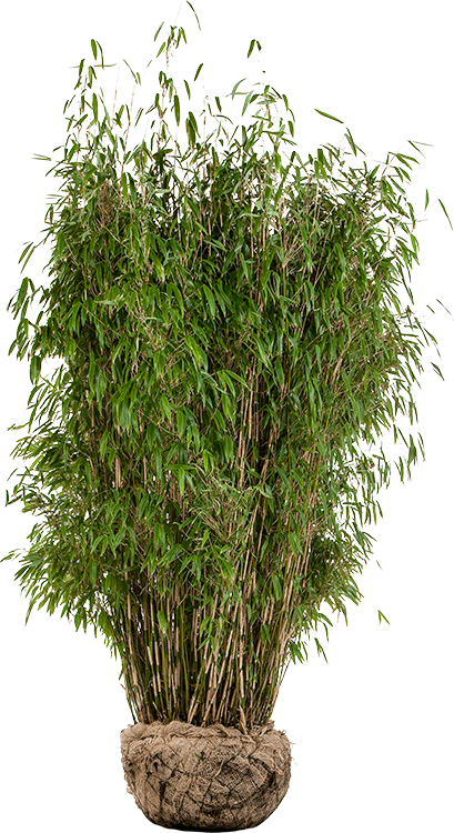 Fargesia murieliae 'Superjumbo' 150/175 cm extra