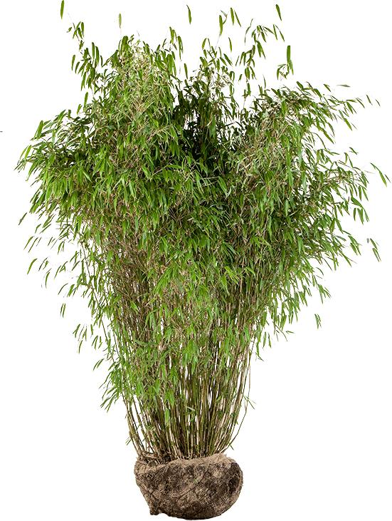 Fargesia murieliae 'Superjumbo' 175/200 cm extra