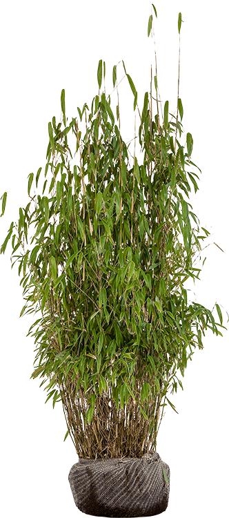 Fargesia murieliae 'Superjumbo' 100/125 cm