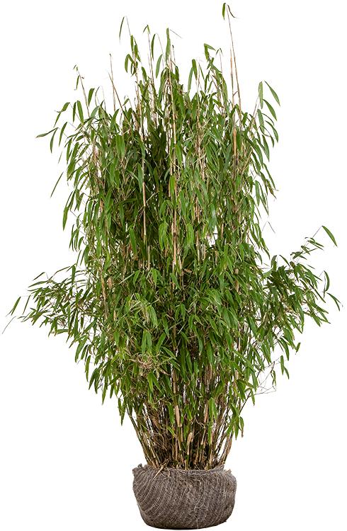 Fargesia murieliae 'Superjumbo' 125/150 cm