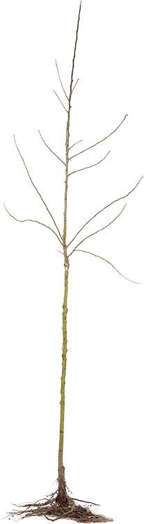 Fruitboom halfstam blote wortel
