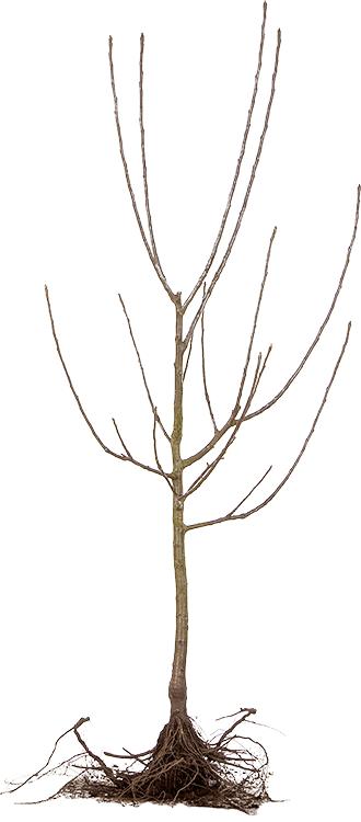 Fruitboom laagstam blote wortel