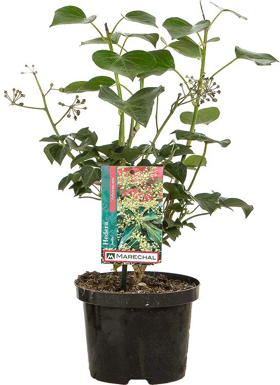 Hedera helix 'Arborescens' pot 2 liter 25/30 cm