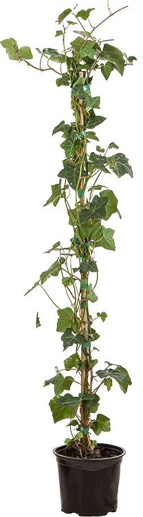 Hedera helix 'Hibernica' pot 1.5 liter 80/100 cm