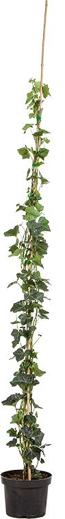 Hedera helix 'Hibernica' pot 3 liter 125/150 cm