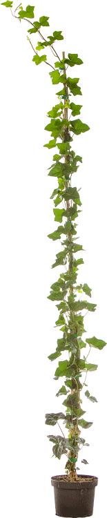 Hedera helix 'Hibernica' pot 3 liter 150/175 cm
