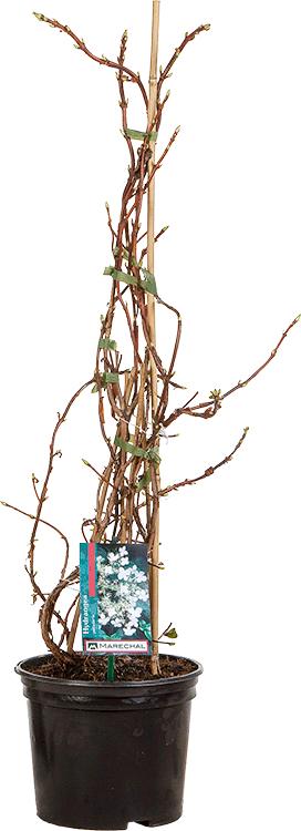Hydrangea petiolaris pot 3 liter 60/80 cm