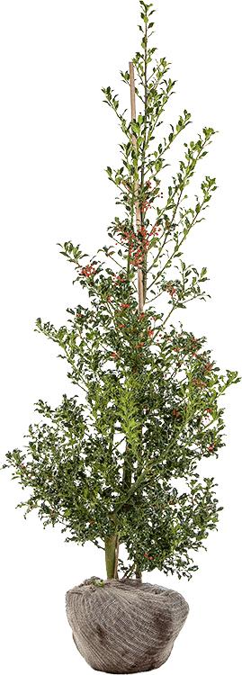 Ilex aquifolium 'Alaska' 150/175 cm
